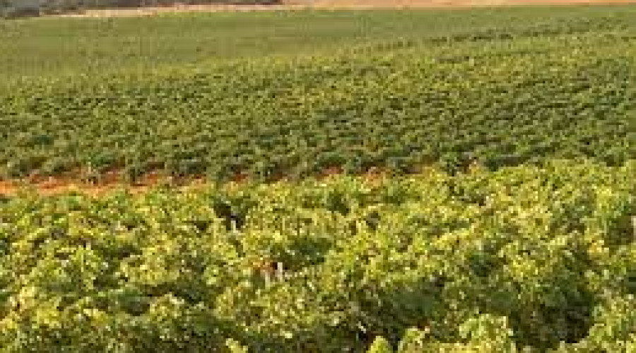 15 millones las  indemnizaciones por heladas en viñedos